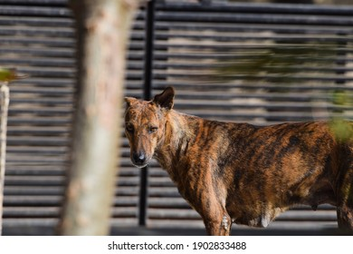 Female Indian street dog with brown and black stripes pattern looking at house. Backdrop of House gate waiting for food
