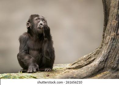 female infant western lowland gorilla by tree