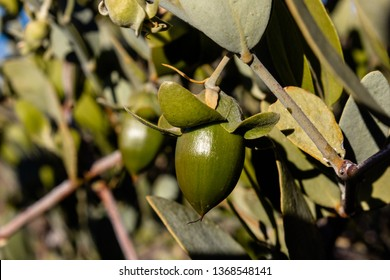Female jojoba plant with large green fruit, oil is commercially extracted from the nut within. Found growing wild in the Sonoran Desert. Pima County, Tucson, Arizona.