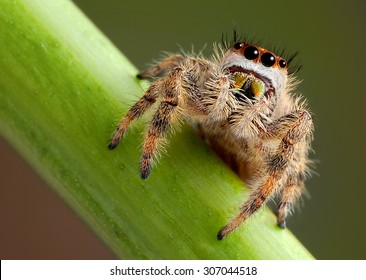 A female jumping spider is shown from a low angle very close up.