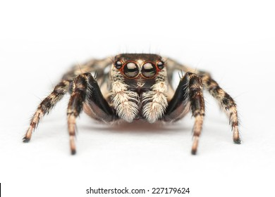 Female Jumping Spider From Thailand (Chonburi Province)