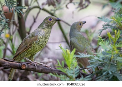 Female or Juvenile Satin Bowerbird, Queen Mary Falls, Queensland, Australia, March 2018