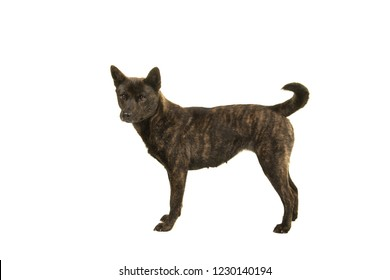 Female Kai Ken dog the national japanese breed standing isolated on a white background