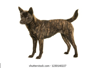 Female Kai Ken dog the national japanese breed standing seen from the side isolated on a white background