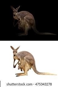 female kangaroo and joey in the dark and white background