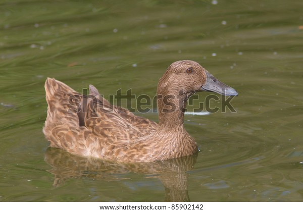 Female Khaki Campbell Duck On Water Stock Photo Edit Now
