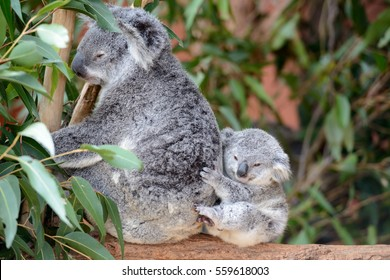 Female koala with a baby