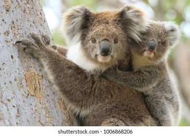 Female koala with a young joey on her back climbing a eucalyptus tree in Gippsland Australia.