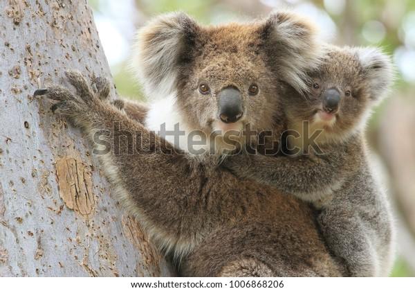 Une koala femelle avec une jeune fille sur le dos grimpant à un eucalyptus à Gippsland en Australie.