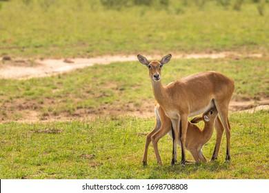 A female kob looking at the camera, nursing her baby (Kobus kob), Murchison Falls National Park, Uganda.