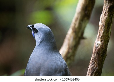 Female Kokako (blue wattled crow) is a rare bird endemic to New Zealand