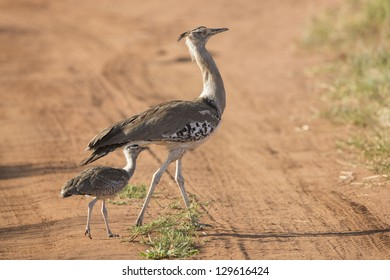 A Female Kori Bustard (Ardeotis kori) with her chick in the Tarangire national Park in Tanzania