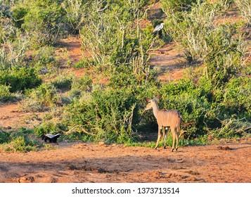 Female Kudu antelope meets honey badger, Addo National Park, South Africa
