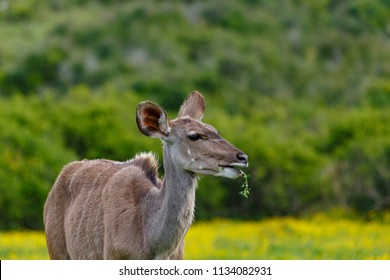 Female kudu chewing on a leaf in the field
