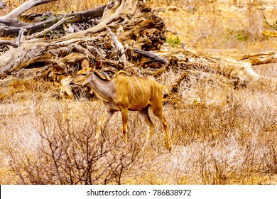 Female Kudu in drought affected area of central Kruger National Park in South Africa