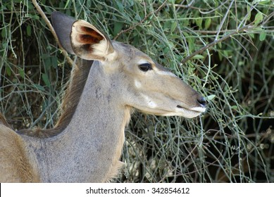 Female kudu, head, in profile