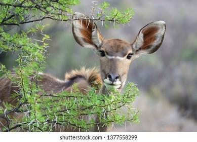 Female Kudu in the Karoo National Park, Great Karoo, South Africa
