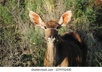 Female Kudu in the Karoo National Park, Great Karoo in South Africa