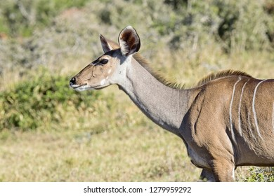 Female kudu portrait of head and shoulders in bright sunshine looking to her left