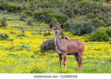 Female kudu standing between the daisy flowers in the field