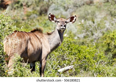 Female kudu standing in the field, looking over her shoulder at the camera.