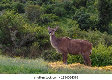 Female kudu standing in a posing position in the field