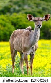 Female kudu standing and staring between the daisy flowers in the field