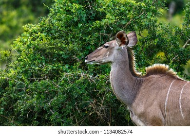 Female kudu staring at the thorny bush in the field
