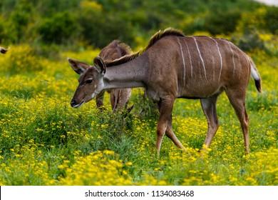 Female kudu walking in the field full of daisies