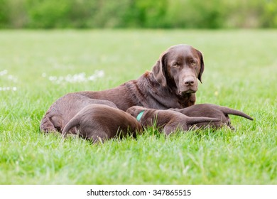 Female labrador retriever dog feeding her litter of adorable young brown puppies.