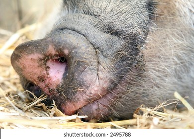 Female lady pig, snout on the ground asleep