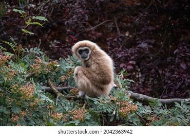 Female Lar Gibbon, Penny (Hylobates lar)