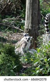 Female lemur and his kid cub baby