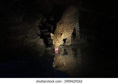 Female leopard drinking water at night
