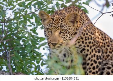 Female Leopard Hunting, African Wildlife
