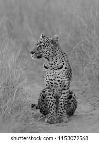Female Leopard, Khwai Concession, Botswana