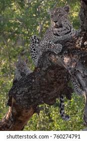 Female leopard, Kruger National Park, South Africa