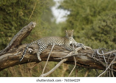 Female leopard resting on fallen tree, Samburu Game Reserve, Kenya