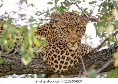 Female Leopard Resting In Tree