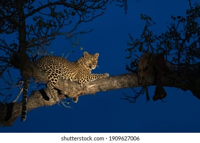 Female leopard resting in a tree in the blue hour