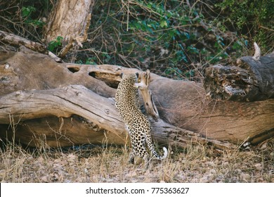 A female leopard spotted during a game drive in a national park in South Africa