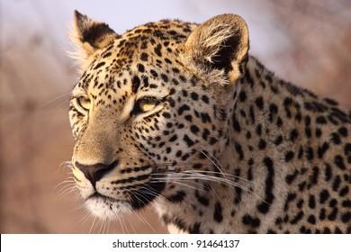 Female leopard stare