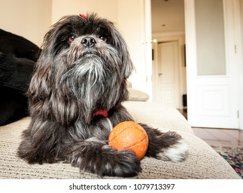 A female Lhasa Apso lying on the couch.