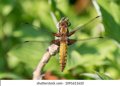 Female libellula depressa, the broad-bodied chaser or broad-bodied darter. Very sharp macro photo, you cant even see the wrinkles in the wings