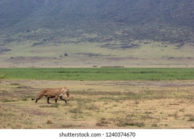 A female lion carries her cub across the plains in the Ngorongoro Crater Conservation Area. The mother lion is transporting her cubs to a safer more protected area.