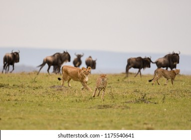 A female lion chases a cheetah with wildebeest in the background in a savannah in Masai Mara Game Reserve, Kenya.