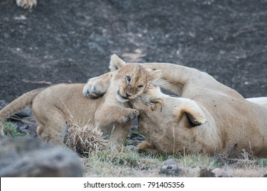 Female lion and its cub in Masai Mara Game Reserve, Kenya