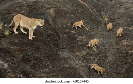 Female lion with cubs crossing a large rock in Masai Mara, Kenya