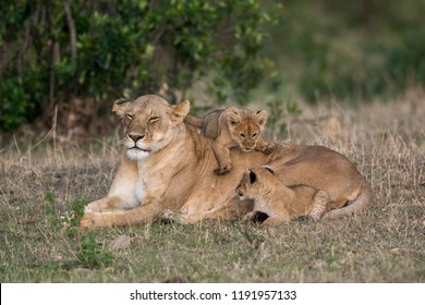 Female lion and cubs resting on the edge of a savannah in Masai Mara Game Reserve, Kenya
