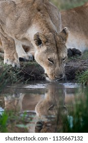 female lion drinking at a water hole in Masai Mara Game Reserve, Kenya